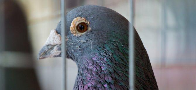 Avustralya'da bir güvercin, karantina koşullarını ihlal ettiği için itlaf edilecek