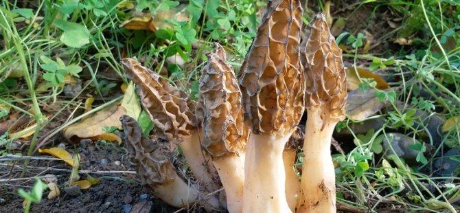 Kıbrıs'ın kuzeyinde 250'ye yakın mantar türünün yetiştiği keşfedildi
