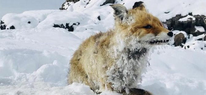 Van'da soğuktan tilki dondu!