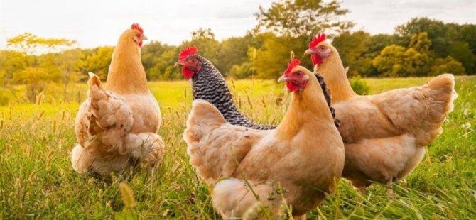 """""""Kanser İlacı Yumurtlayan"""" tavuklar yetiştirildi"""