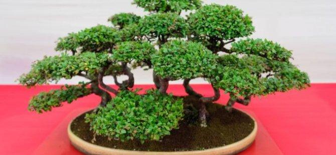 400 yıllık bonsai ağaçları çalınan çiftten hırsızlara: Onlar bizim kıymetlimiz, haftada bir sulayın