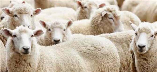 Devlet Üretme Çiftlikleri Dairesi kasaplık hayvan satışı yapacak