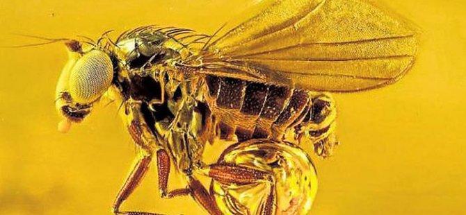 Bu sinek 45 milyon yaşında!