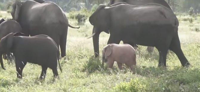 Güney Afrika'da pembe fil yavrusu böyle görüntülendi (Video)