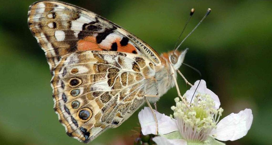 Milyonlarca Kelebek Kıbrıs Üzeriden Balkanlar'a Göç Ediyor