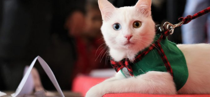 En güzel Van kedisi seçildi
