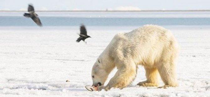 Buz parçası üzerinde sürüklenen kutup ayısı 700 kilometre uzaklıktaki köye indi