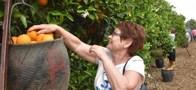Almanya'dan gelen turistlere Portakal Hasatı etkinliği... Bakanlık: Çok Başarılı