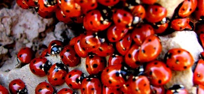 ABD'de Kilometrelerce Uzunlukta Uğur Böceği Sürüsü Tespit Edildi