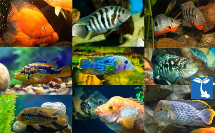 Balıklar da aşk acısı çekiyormuş!