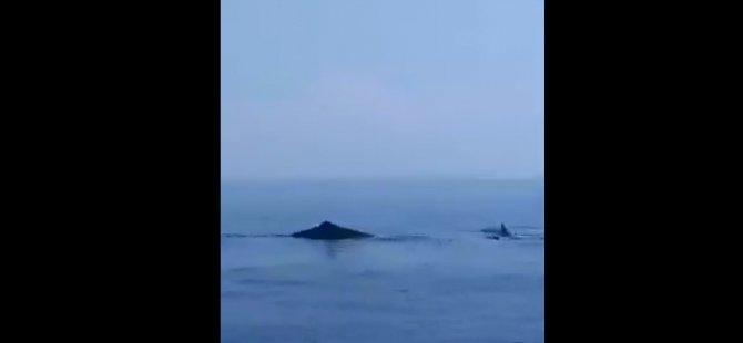 Karpaz'da balina ve köpek balığı sürüsü görüldü (VİDEO HABER)