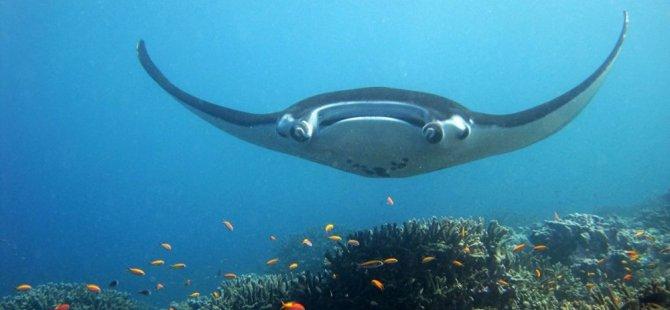Yardım etmeleri için insanlara yaklaşan 'deniz şeytanı' böyle görüntülendi