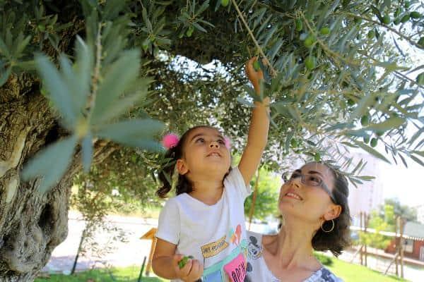 1202 yıllık anıt ağaç yeni evinde de zeytin verdi