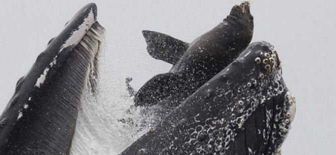 Balinanın deniz aslanını 'yutma' anı görüntülendi