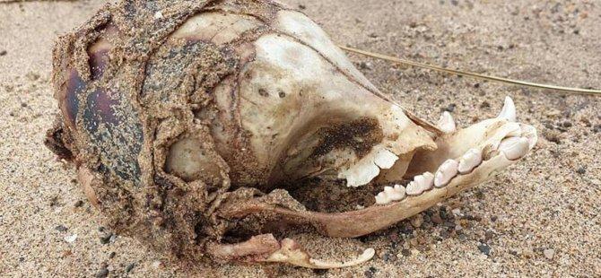 İngiltere Kıyılarında Göz Yuvası Olmayan Tuhaf Bir Kafatası Bulundu