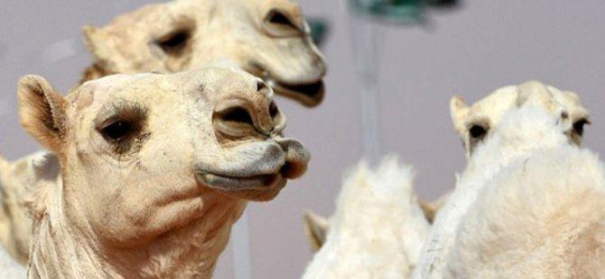 ABD'de bir kadın, üzerine oturan deveden cinsel organını ısırarak kurtuldu