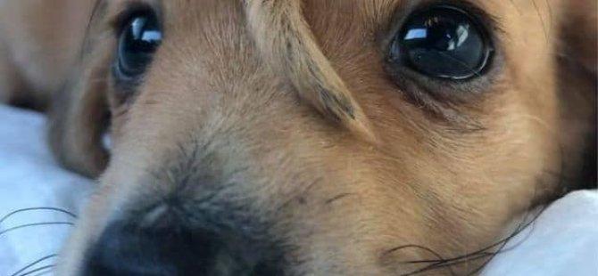 Alnının ortasında ikinci kuyruğu olan köpek yavrusu sosyal medya fenomeni oldu