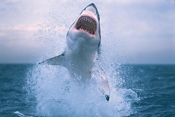 Hawaii'de yine köpekbalığı saldırısı