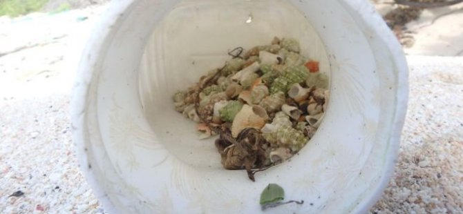Plastik kirliliği 'yarım milyon keşiş yengecini öldürdü'