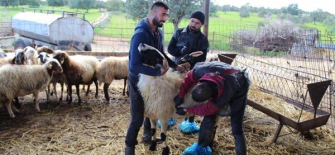 Dipkarpaz köyünde hayvanlar aşılanıyor
