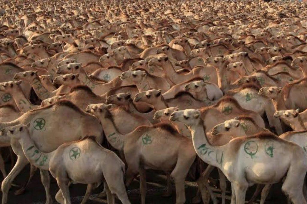 Avustralya'da 10 bin deve helikopterlerden vurularak öldürülecek