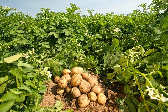 Tarım Dairesi patates üreticilerine yönelik eğitim verecek