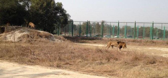 Aslanların bulunduğu alana atlayan gencin cansız bedeni parçalanmış halde bulundu