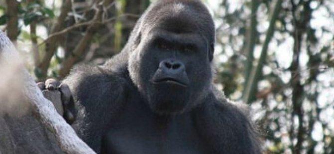 Koronavirüs büyük maymunlar için tehlike oluşturabilir