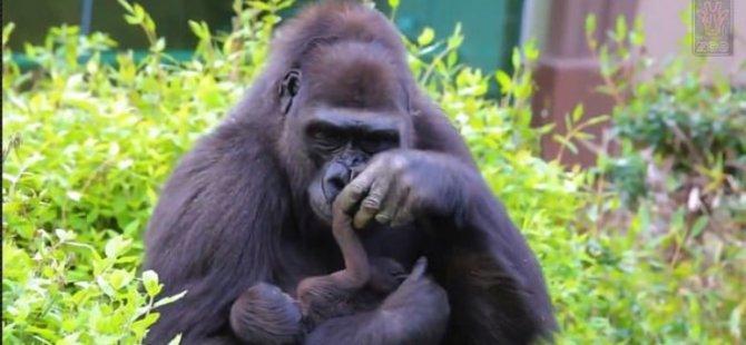 Goriller de izolasyonda; sosyal mesafe kuralı 10 metre