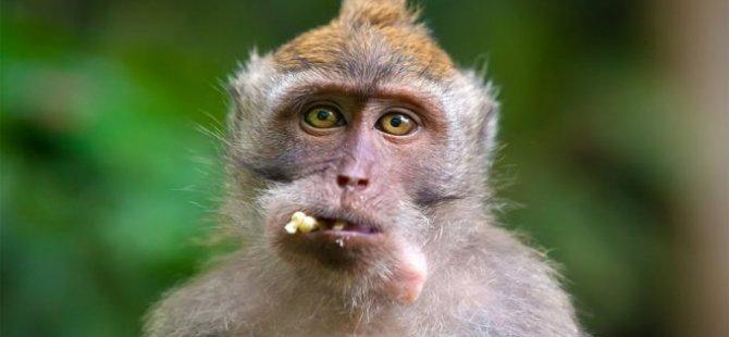 Bilim insanlarına göre, bir maymun türü Atlantik Okyanusu'nu geçerek Güney Amerika'ya gitti