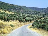 Yedikonuk köyünde zeytin ağacı kestiler tutuklandılar