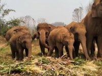Koronavirüs, Tayland'da Filleri Doğal Yaşam Alanına Döndürdü