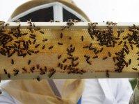 Fransa'da arıcılar son 40 yılın en iyi hasadına rağmen endişeli