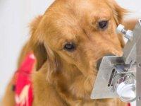 İngiltere'de denemeler başlıyor: Köpekler virüsün kokusunu alabilir mi?