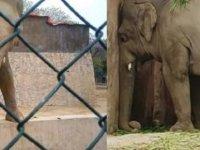 Pakistan'da işkence gören fil 35 yıl sonra esaretten kurtuldu