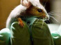 Araştırma | Bilim insanları yüzde dördü insan olan fare üretti