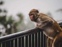 Bir grup maymun, şüpheli 'corona' hastalarından alınan numuneleri 'çaldı'
