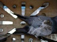 Hindistan'da casusluk şüphesiyle yakalanan güvercin iddia asılsız çıkınca serbest bırakıldı