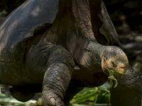 44 yıl boyunca çiftleşerek türünü kurtaran 100 yaşındaki Diego emekliye ayrıldı