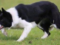 19 bin 451 sterline satıldı; dünyanın en pahalı çoban köpeği oldu