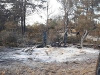 Bir bölümü yanan Kalkanlı Anıt Zeytin ağaçlarının geleceği için yerinde inceleme yapılacak