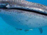 Balina köpekbalıklarının göz çevresinde yüzlerce diş keşfedildi