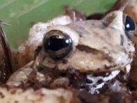 'Bu kurbağa muzun içinde geldi':8 bin kilometre yolculuk
