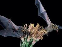 Ünlü içkinin geleceği tekila yarasalarını kurtaracak DNA çalışmasına bağlı