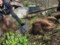 Yavru ayıyı vurduktan sonra köpekleriyle işkence yapan avcı serbest bırakıldı