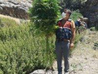 Türkiye'de Hazine arazisinde 7 bin 500 kök kenevir ele geçirildi
