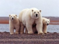Kutup Ayılarının Nesli Bu Yüzyıl İçinde Tükenebilir