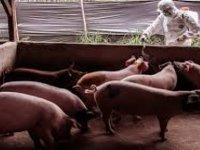Endonezya'da Afrika Domuz Vebası Nedeniyle 24 Bin 822 Domuz Telef Oldu