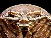 'Deniz hamam böceği': Okyanusun dibinde dev bir kabuklu canlı keşfedildi