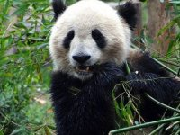 Panda koruma alanları nedeniyle bazı yırtıcıların soyu tehlikeye girdi